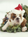 Bulldog Wearing Santa Claus Hat Photographie par Larry Williams