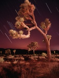 Meteor Trails and Joshua Trees Photographic Print by Richard Cummins