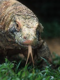 Komodo Dragon in Indonesia Photographic Print by Martin Harvey