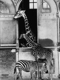 Giraffe Family and Zebra Photographic Print