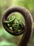 Detail of Sprouting Fern Fiddlehead Photographic Print by Richard A. Cooke