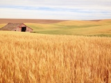 Sprawling Wheat Field Lmina fotogrfica por Terry Eggers
