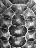 Pattern on Turtle's Shell Photographic Print by Henry Horenstein