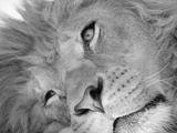 Lion&#39;s Face Photographic Print by Henry Horenstein
