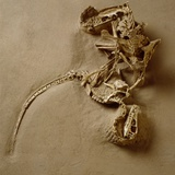 Fossil of Velociraptor Attack Photographic Print by Louie Psihoyos