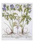 Geranium Muscatum Giclee Print by Basilius Besler