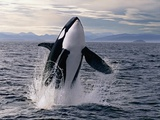 Breaching Killer Whale Photographie par Tom Brakefield