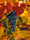 Cabernet Sauvignon Grapes Photographic Print by Charles O&#39;Rear