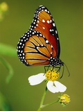Monarch Butterfly on Flower Photographic Print by Richard Cummins