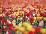 Colorful Tulips in Meadow Photographic Print by Craig Tuttle