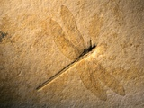 Late Jurassic Dragonfly Fossil Photographic Print by Layne Kennedy