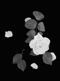 Rose and Leaves Photographic Print by Robert Levin