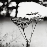Queen Anne's Lace Flower Photographic Print by Ariel Ruiz I Altaba