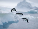 Adelie Penguins Jumping into Ocean Photographic Print by Tim Davis