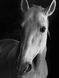 Portrait of Lippizaner Belvedere Napolitano Photographic Print by Karen Tweedy-Holmes