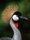 Grey Crowned Crane Photographic Print by Martin Harvey