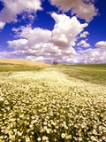 Daisies Covering a Field Under Puffy Clouds Photographie par Craig Tuttle