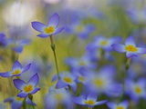Bluets Close-Up Photographic Print by Susan Rosenthal