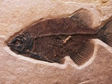 Fish Fossil Photographic Print by Mark E. Gibson