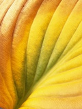 Hostas, also known as Plantain Lily and Funkia Photographic Print by David Roseburg