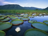 Royal Water-Lilies in the Pantanal Photographic Print by Theo Allofs