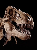 Skull of Tyrannosaurus Photographie par Louie Psihoyos