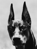 Head of Doberman Pinscher Photographic Print by Henry Horenstein