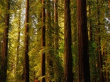 Redwoods Photographic Print by Charles O'Rear
