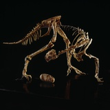 Oviraptor Skeleton and Fossil Egg Photographic Print by Louie Psihoyos