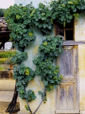 Grapevines Growing on House Photographic Print by Owen Franken
