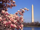 Blooming Magnolia near Washington Monument Photographic Print by Alan Schein