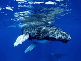 Infant Humpback Whale Photographic Print by Louie Psihoyos