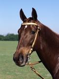 Argentine Polo Pony Photographic Print
