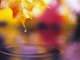 Water Dropping from Maple Leaf Photographic Print by Craig Tuttle