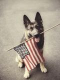 Dog Holding American Flag in Mouth Fotografisk tryk af Robert Llewellyn