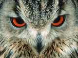 Bengal Eagle-Owl in India Photographic Print by Martin Harvey