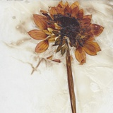 Dahlia I Photographic Print by David Roseburg