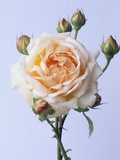 Cressida Rose Photographic Print by Clay Perry