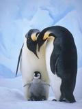 Emperor Penguins with Chick Fotografisk tryk af Tim Davis