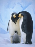 Emperor Penguins with Chick Fotografiskt tryck av Tim Davis