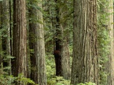 Redwood Forest in Redwood National Park Photographic Print by Gavriel Jecan