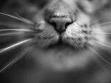 Cat's Nose and Whiskers Fotoprint van Henry Horenstein