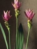 Curcuma Photographic Print by Clay Perry