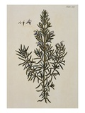 Rosemary Giclee Print by Elizabeth Blackwell
