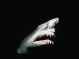 Grey Nurse Shark with Open Mouth Photographic Print by Jeffrey L. Rotman