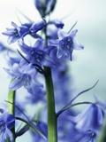 Blue Bells Fotografie-Druck von David Roseburg