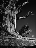 Bristlecone Pine Tree Photographic Print by David Muench