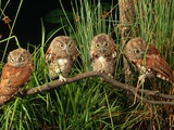 Eastern Screech Owl Fledglings Photographic Print by Joe McDonald
