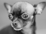 Chihuahua's Face Photographic Print by Henry Horenstein