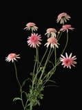 Argyranthemums in Bloom Photographic Print by Clay Perry